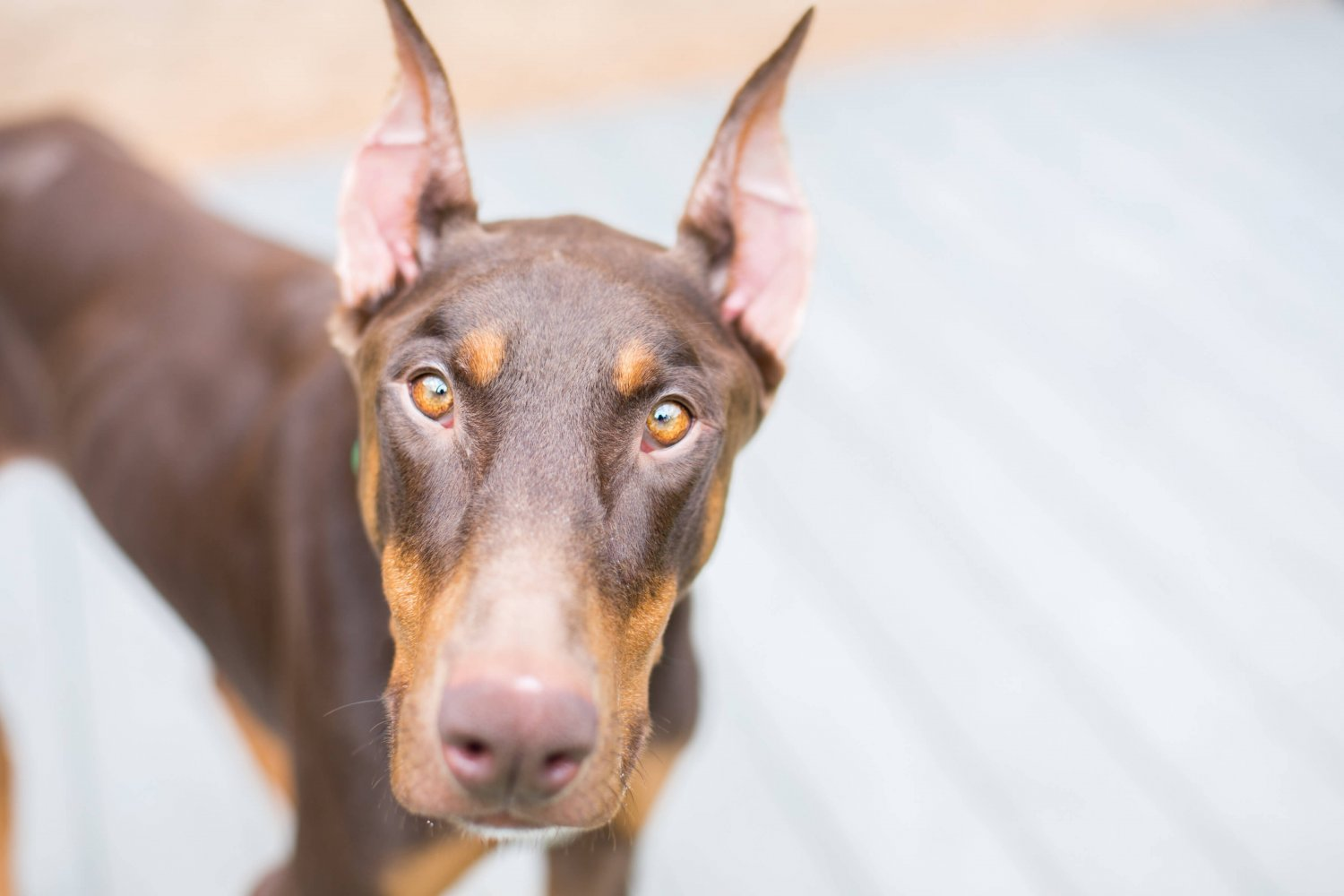 Zurixx donates to the Doberman Rescue Shelter for the fifth year in a row. This generous donation assists the organization in finding homes for the rescue dogs.